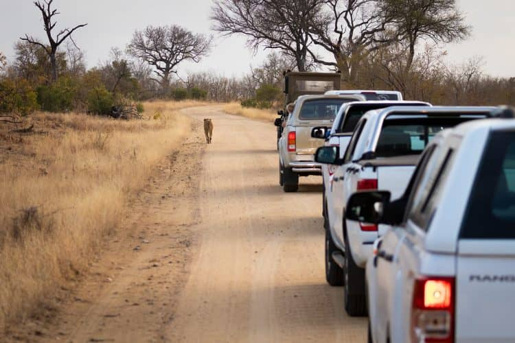 A female lion stops traffic in Kruger National Park.