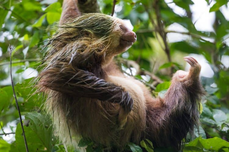 Three-toed sloth at La Selva.