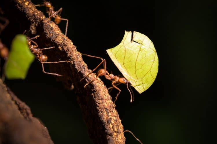 Leaf-cutter ants at La Selva.
