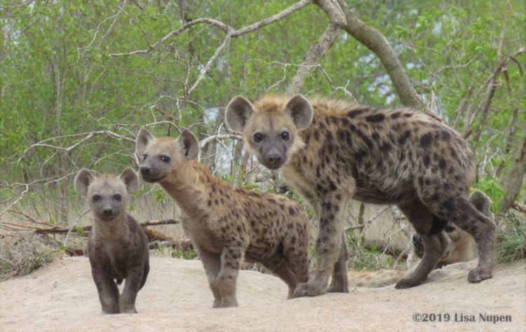nor sure hyenas