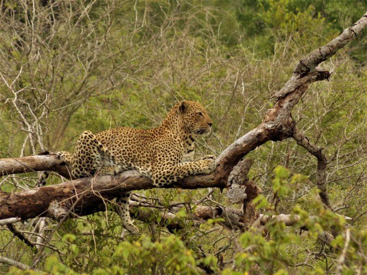 Leopard resting - Emily Burgess