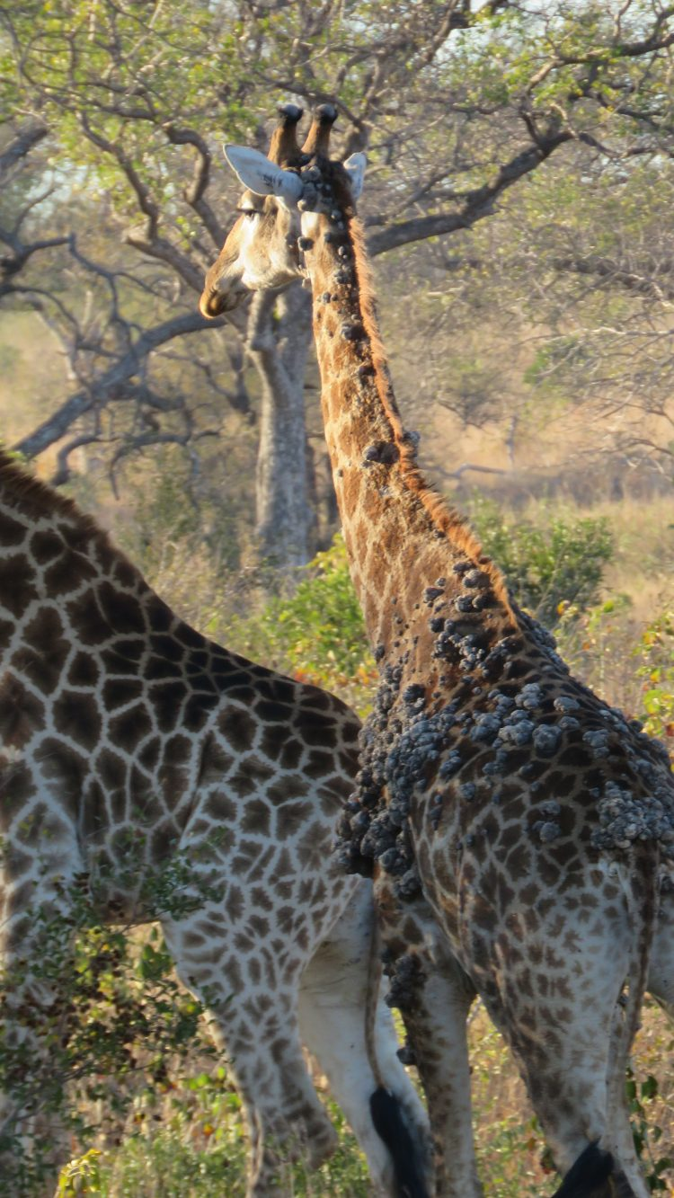 giraffe GSD