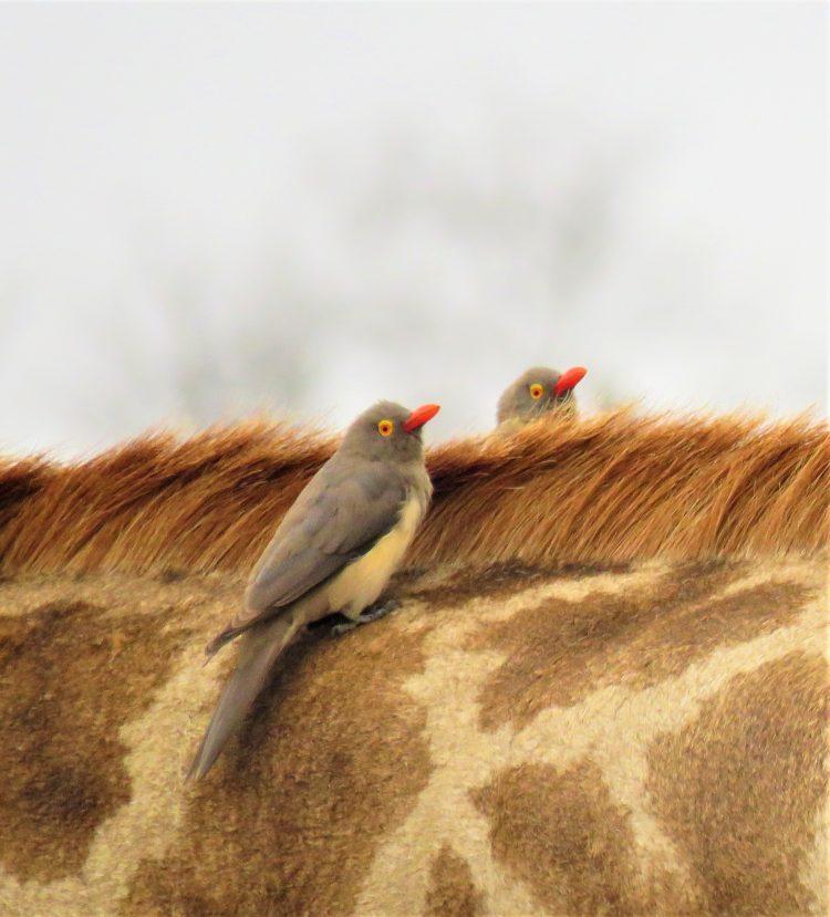 oxpeckers giraffe